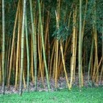 Golden Bamboo Forest